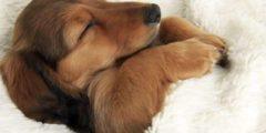 ذكاء الكلاب Dogs intelligence: هل تحلم الحيوانات خلال نومها!؟